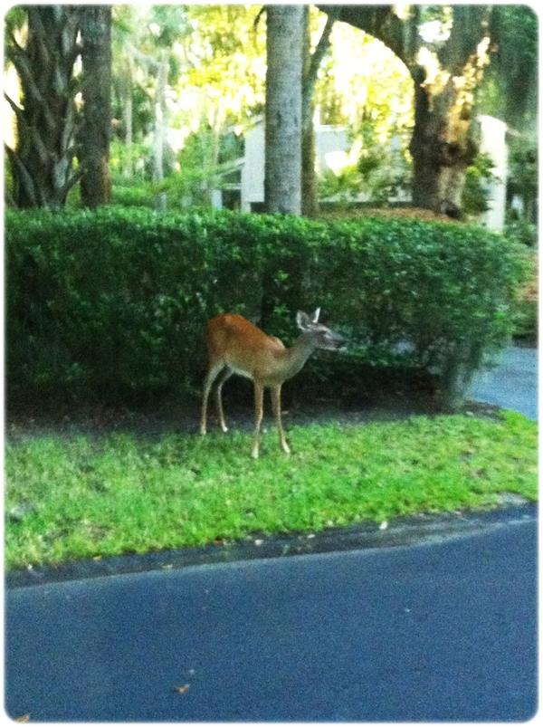 Seabrook Island Deer