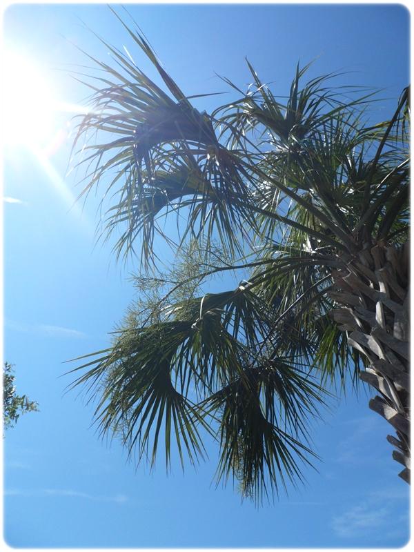 Seabrook Island Palm Tree