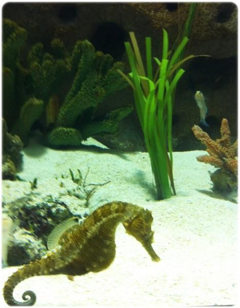 Cleveland Aquarium Seahorse