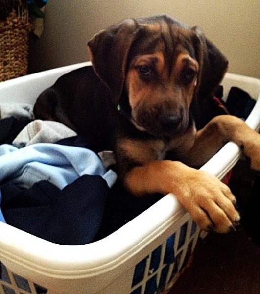 Bloodhound Mix Puppies