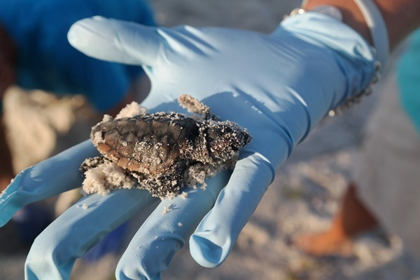 Gulf County Baby Sea Turtle Hatchling
