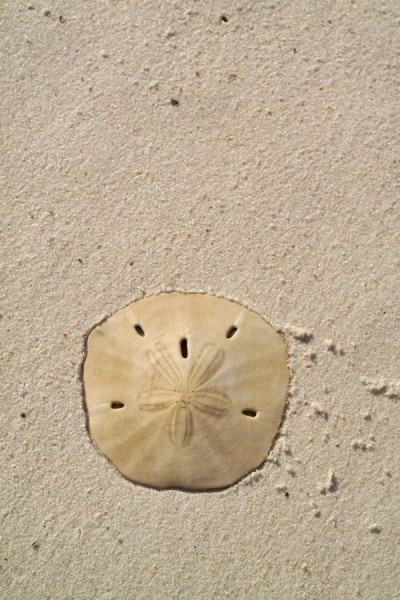 Gulf County Sand Dollar