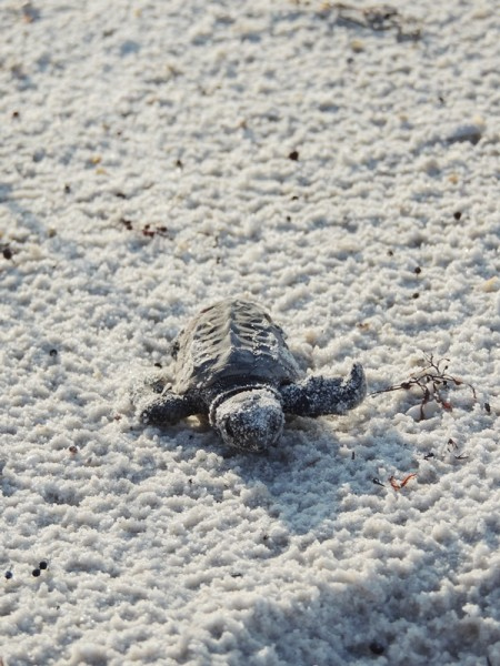 Gulf County Sea Turtle