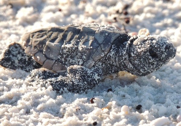Gulf County Sea Turtle Hatchling