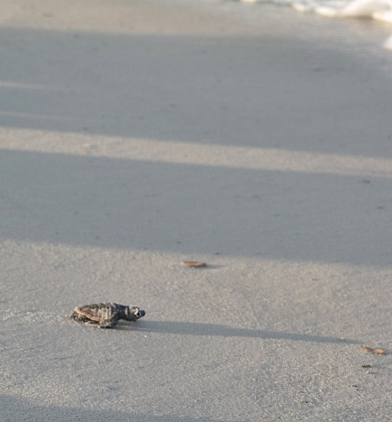 Gulf County Turtle Hatchling