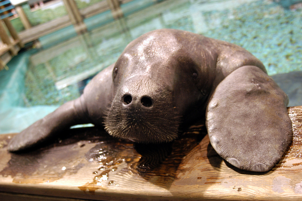 Snooty - The World's Oldest Manatee