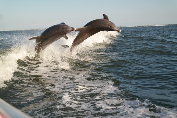 More Photos From Our Sanibel Island Dolphin Cruise