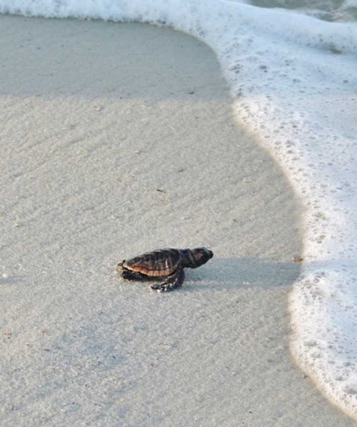Gulf County Baby Sea Turtle