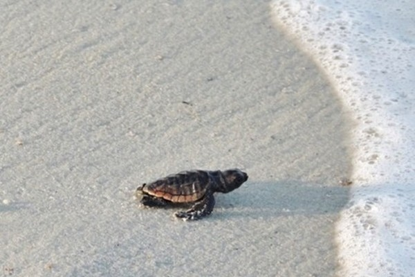 Gulf County Baby Sea Turtle Featured