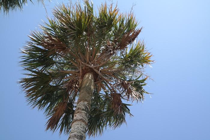 Gulf County Palm Tree