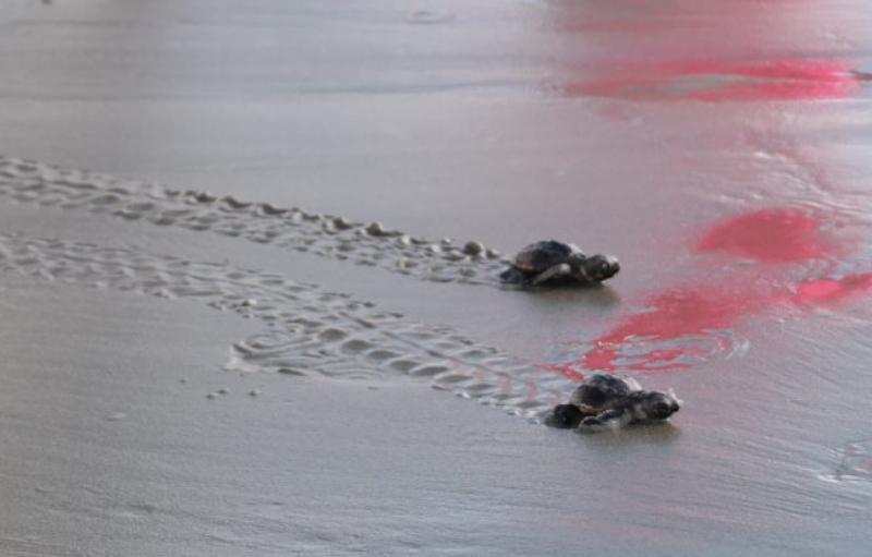 Seabrook Island Baby Sea Turtles