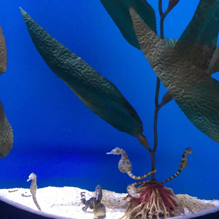 Myrtle Beach Aquarium Seahorses