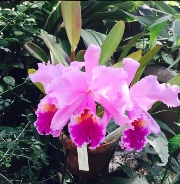 Anna Scripps Whitcomb Conservatory Pink Orchid
